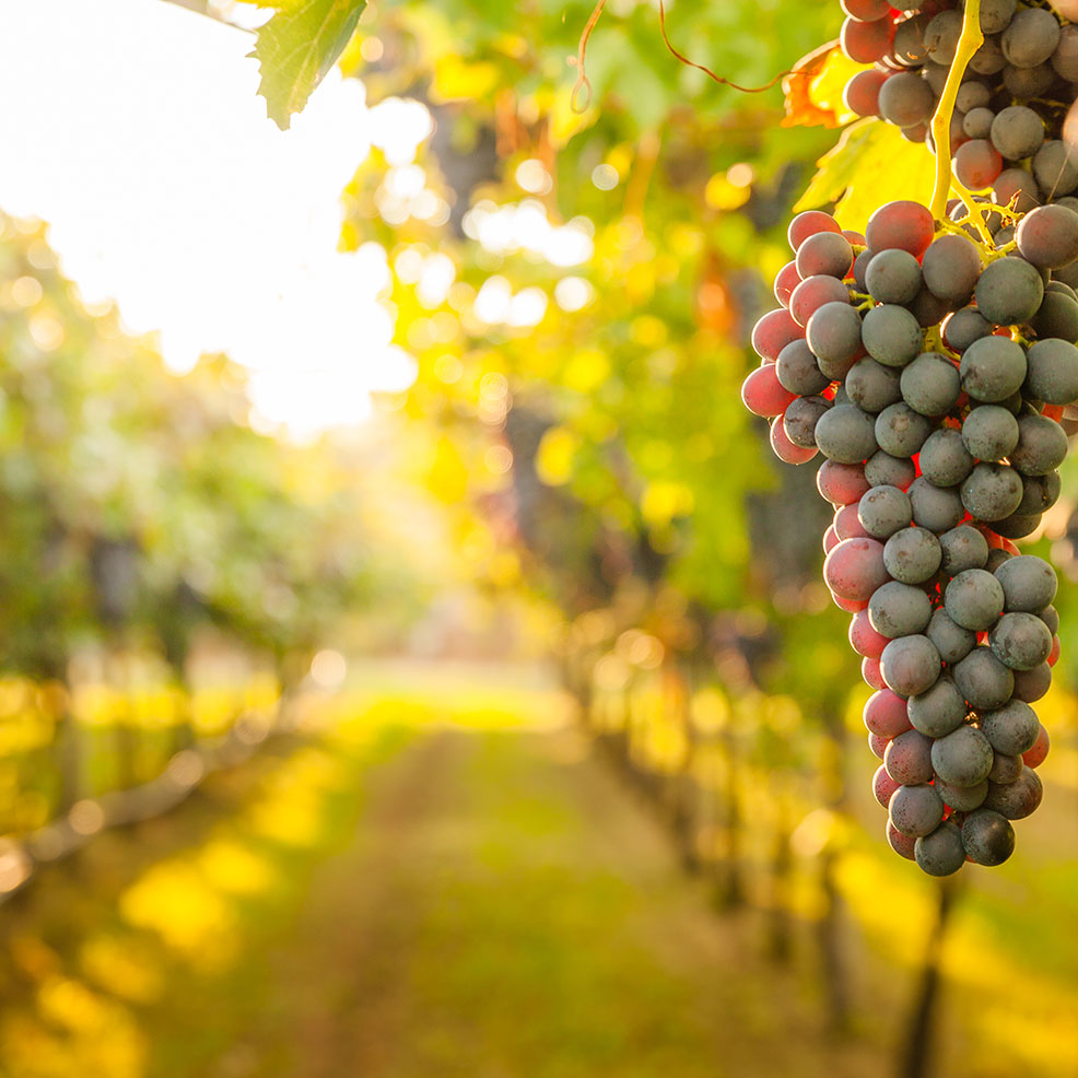 Winery Spotlight image of vineyard